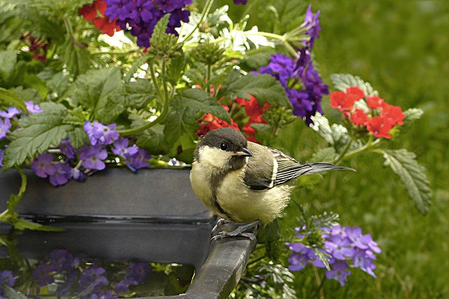 Ptáček u pítka pro ptáky